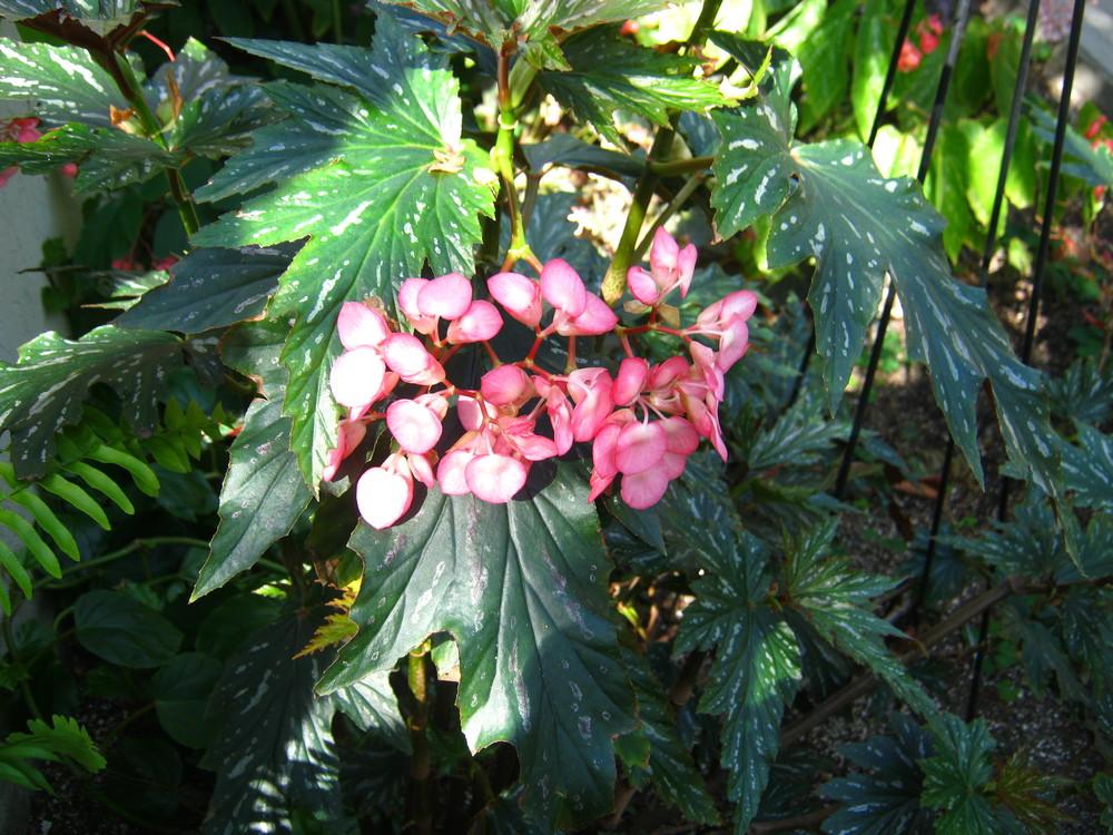 Begonia sp. (Begonia)