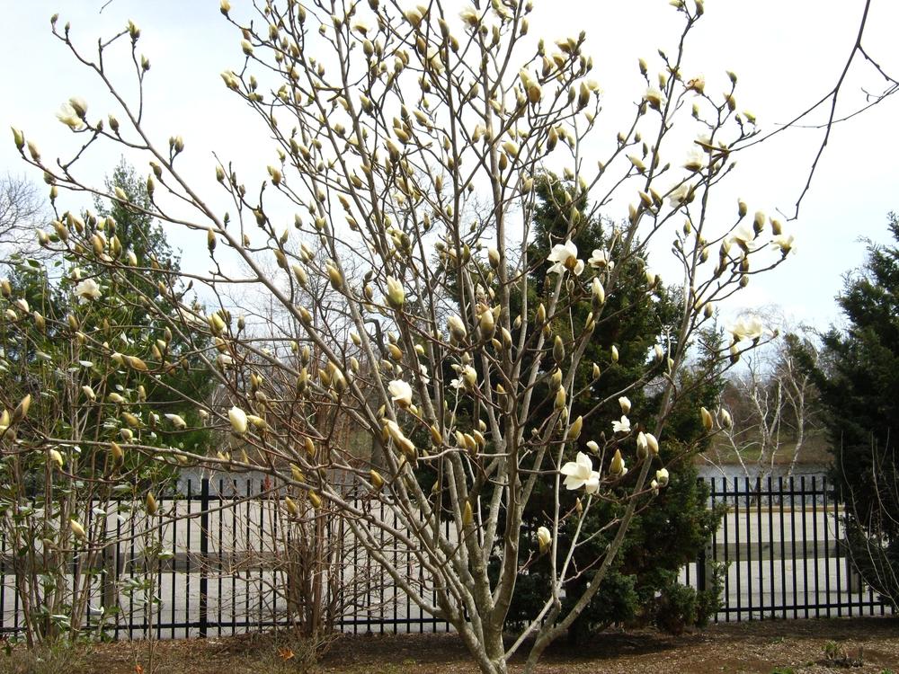 Magnolia virginianaSweetbay Magnolia (NATIVE)