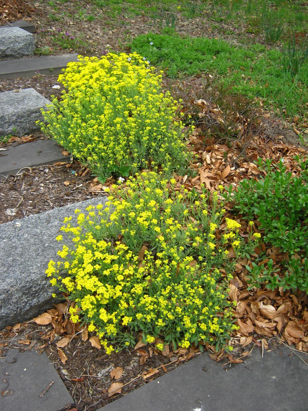 Aurina saxatillia 'Sulphurea' (Basket of Gold Sweet Alyssum)