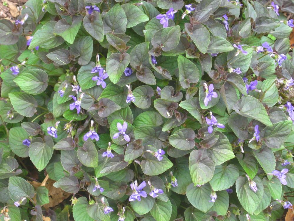 Viola labradorica (Labrador VioletNATIVE)
