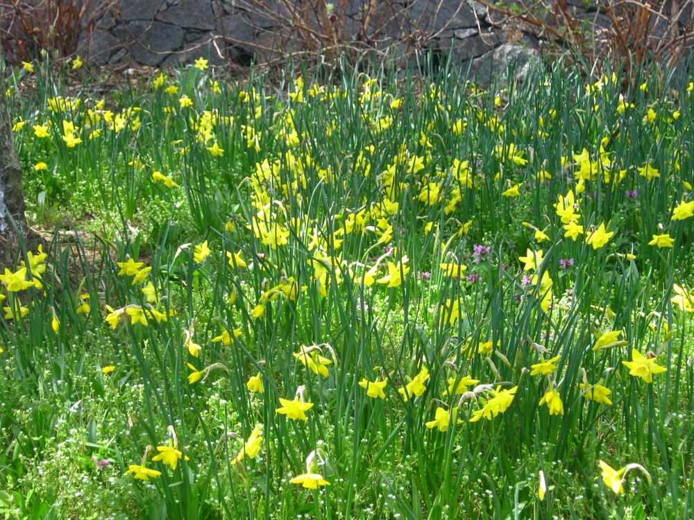 Naturalizing (daffodils)