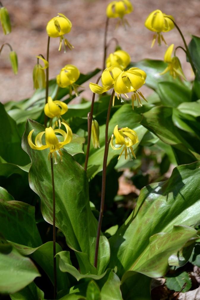 Erythronium americanum (Yellow Trout LilyNATIVE)