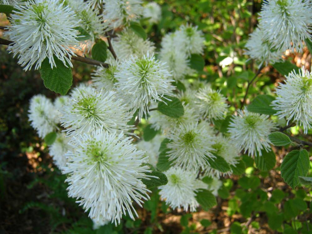 Fothergilla gardenii (Fothergilla 'Blue Mist') <b>NATIVE</b>