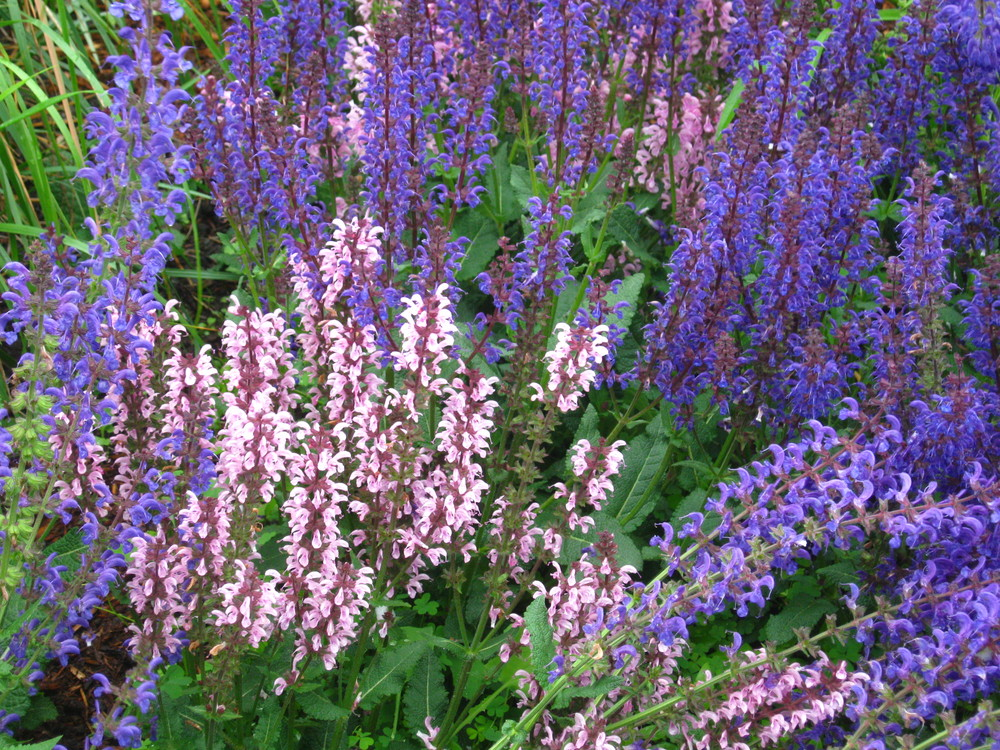 Salvia sylvestris and S. pratensis (Blue 'May Night' and Pink 'Ballet Rose Rhapsody' Salvias)