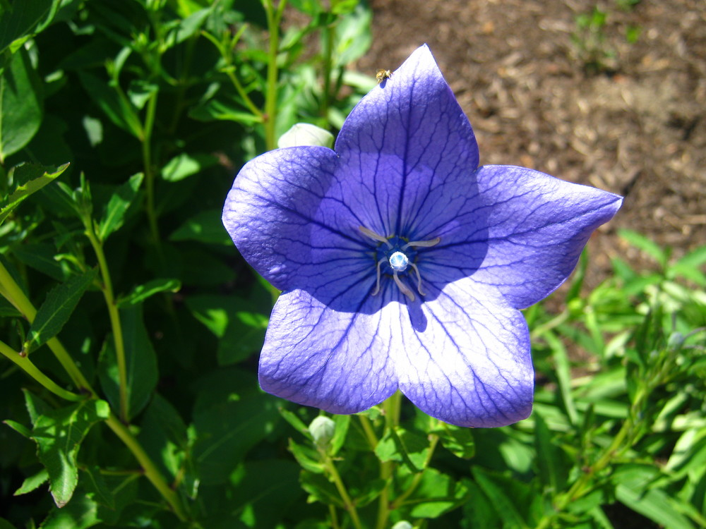 Platycodon grandifloras (Balloon Flower 'Sentimental Blue')