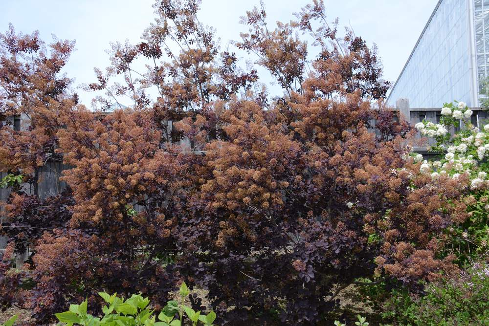 Cotinus coggygria (Smoke Bush 'Royal Purple')