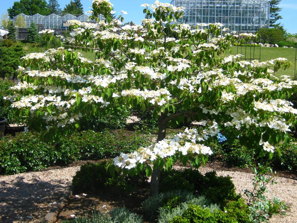 Potentilla fruticosa (Potentilla 'McKay's White'  Native to North America)