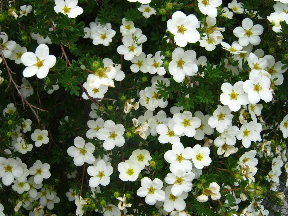 Viburnum plicatum tomentosum (Doublefile Viburnum)