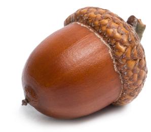 acorn2.png