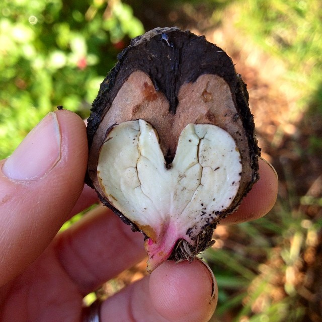 Walnut trees secretly love us.
