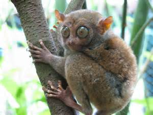 He will stare you down. Tarsiers are nocturnal Primates found in Bohol.