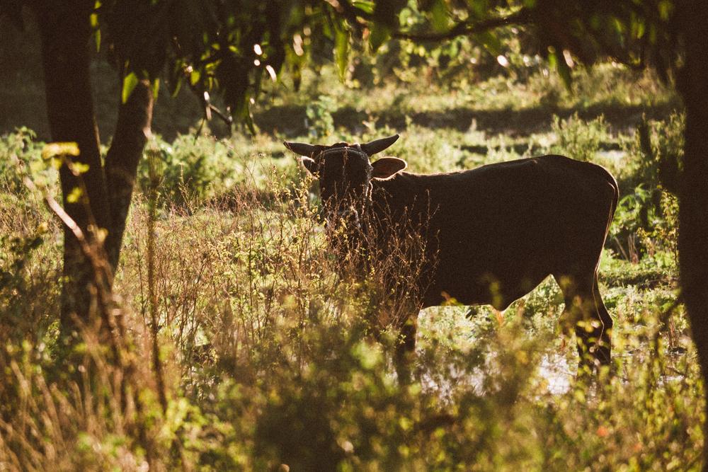 lastunas_cuba_cow