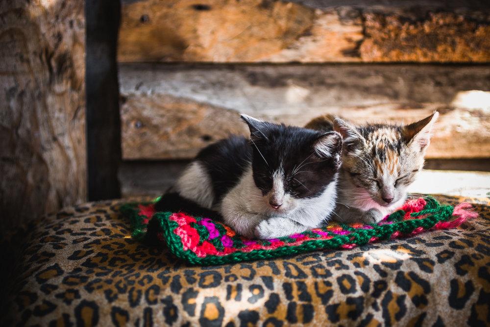 Mapuche cats