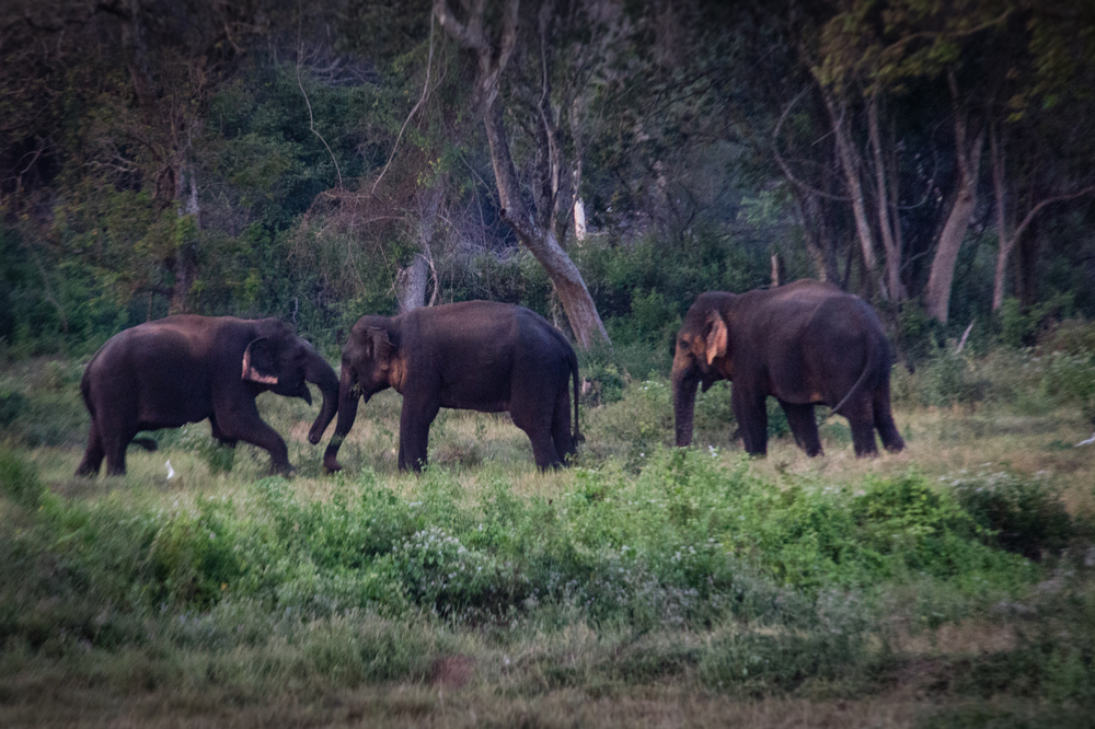 Nilaveli Elephants-5.jpg