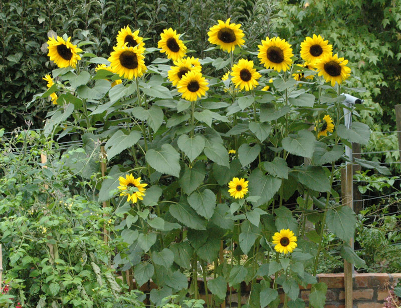 sunflowers_in_our_garden.jpg