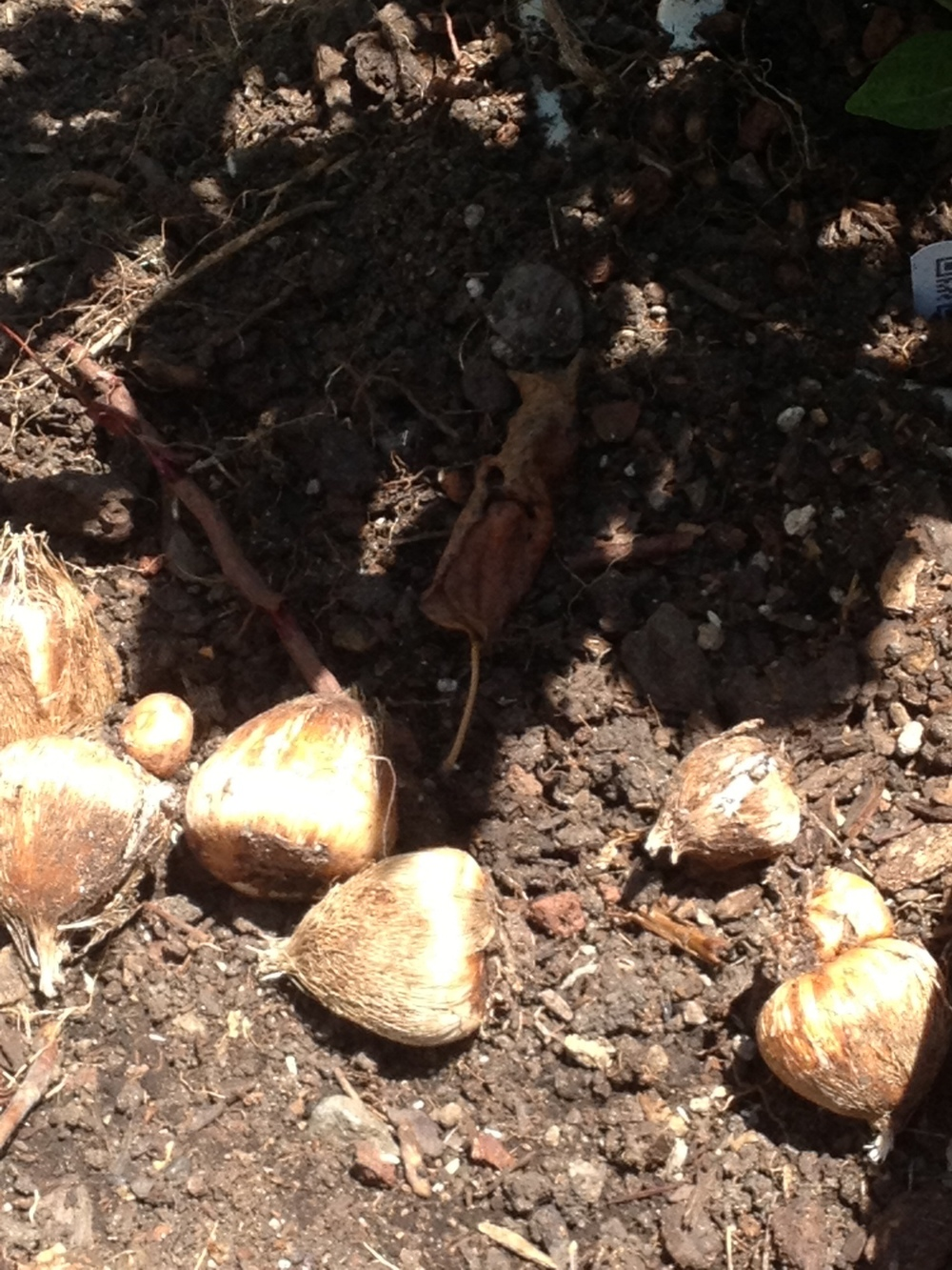 Bulbs I found in the Urban Veggie Garden summer 2013