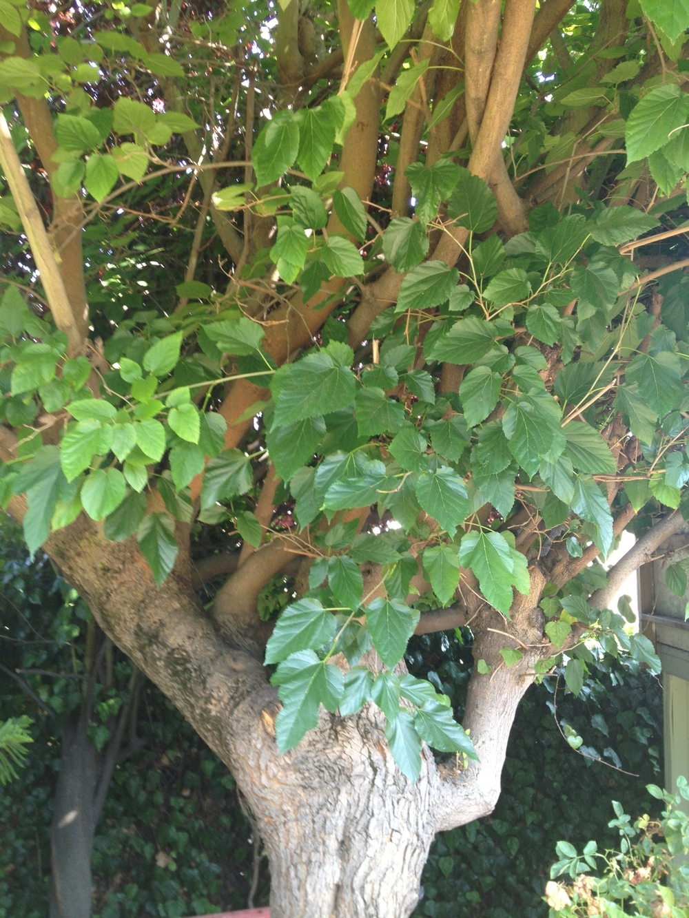 mulberry tree updatd garden 72013.jpg