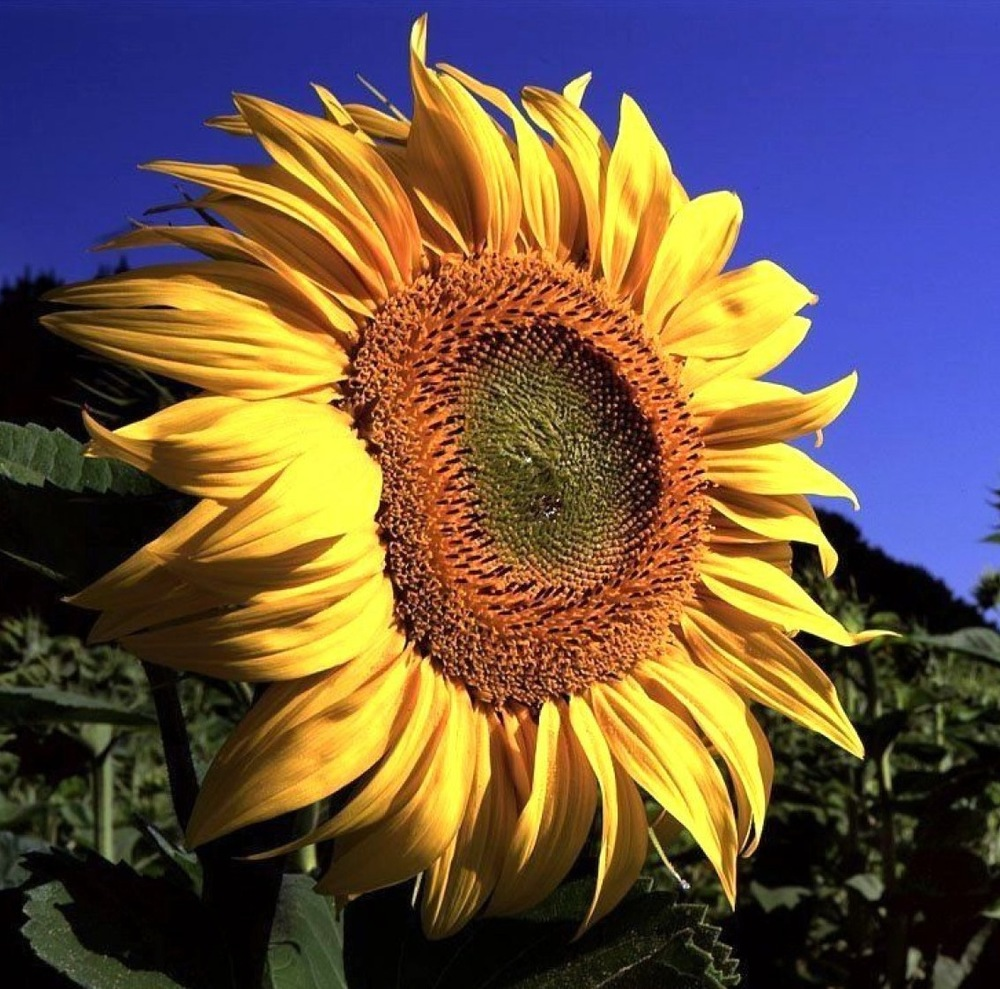 Summer Sun Flower Wishes