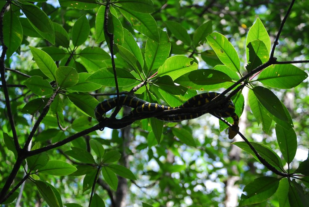 mangrove-viper-snake-3.jpg
