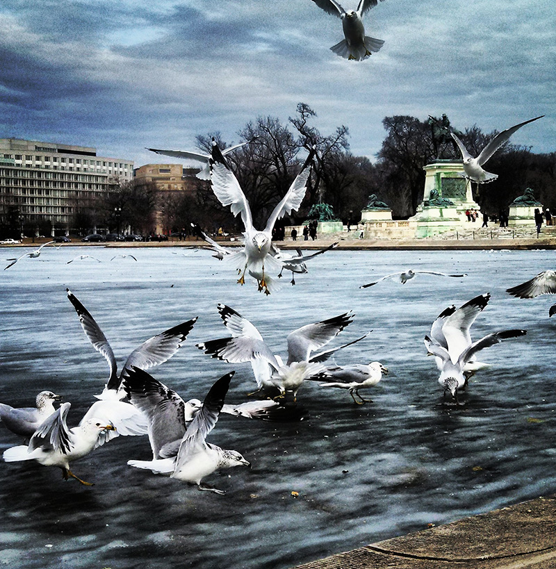 Seagulls in the fountain on the National Mall