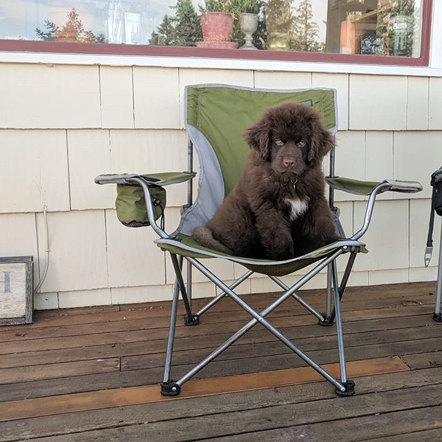 #playing Slow living the island life.  #newfoundlandpuppy #newfoundland #newfiesofinstagram #newfiepuppy #newfie