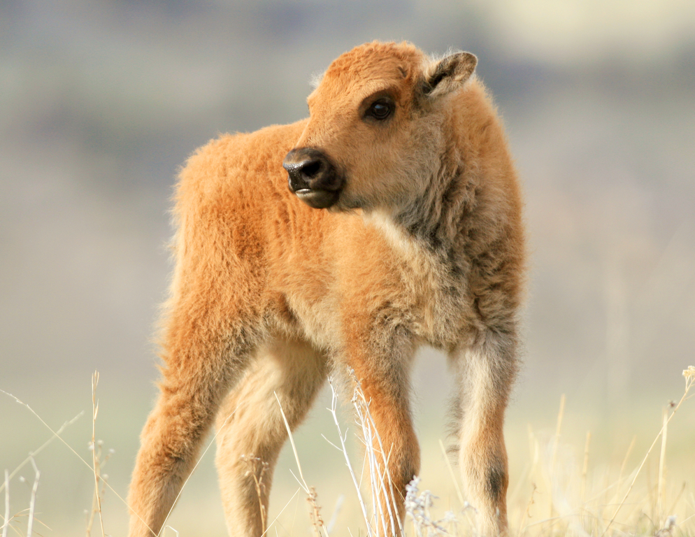 Day Old Bison Calf