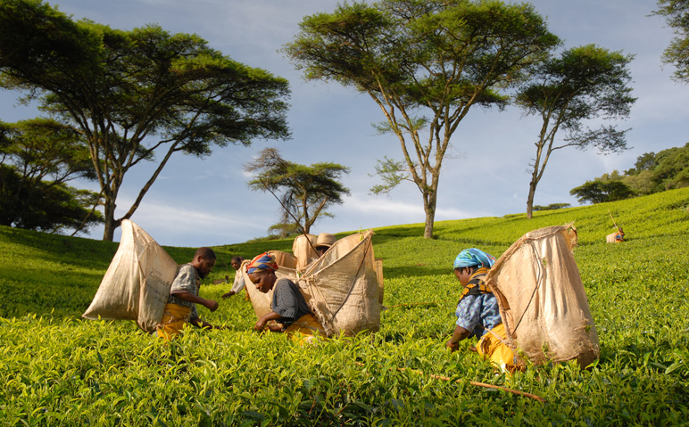Satemwa Tea Estate in Thyolo, Malawi