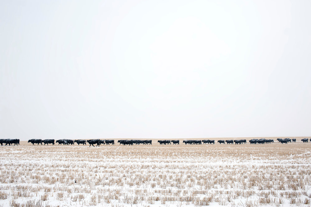 The day's light warms as the cows keep a slow and steady pace throughout the day as they cover ground past historic Montana ranch lands in a little-traveled part of the state.