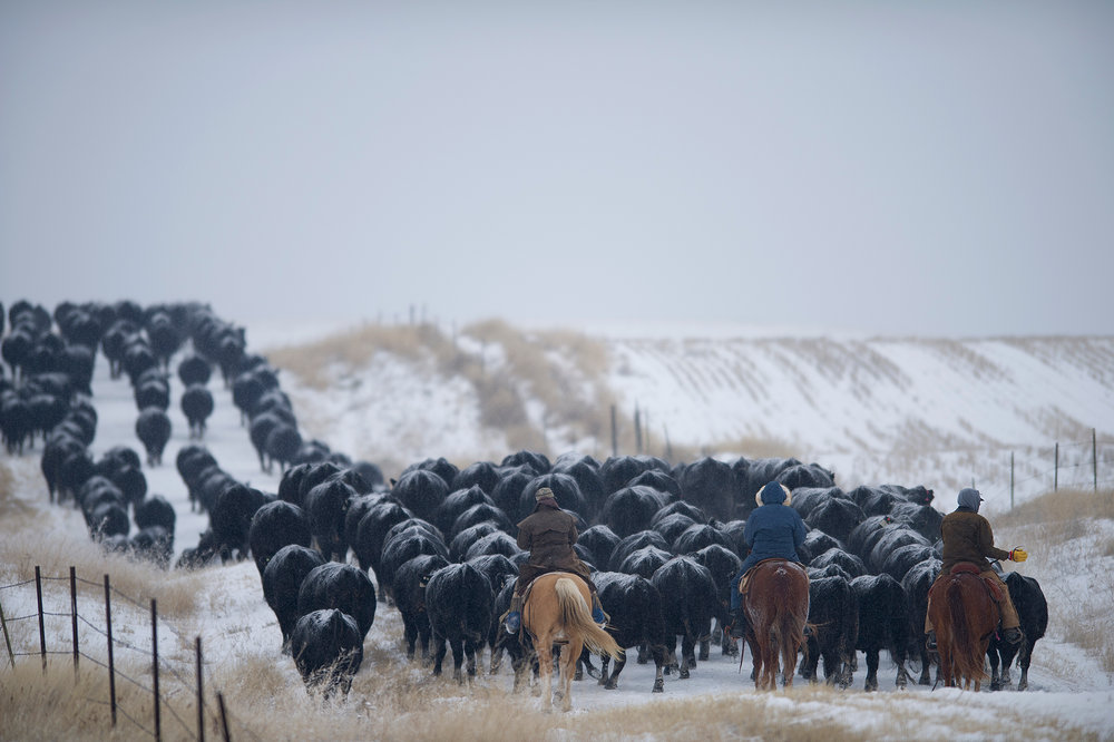 Because the NARC is a working cattle ranch, the twice-yearly cattle drives are a necessity. In order to make them happen, researchers at the center trade their lab coats for oiled dusters to join other ranch personnel to bring the cattle in. For all involved, the drives are a matter of pride and a beloved tradition.