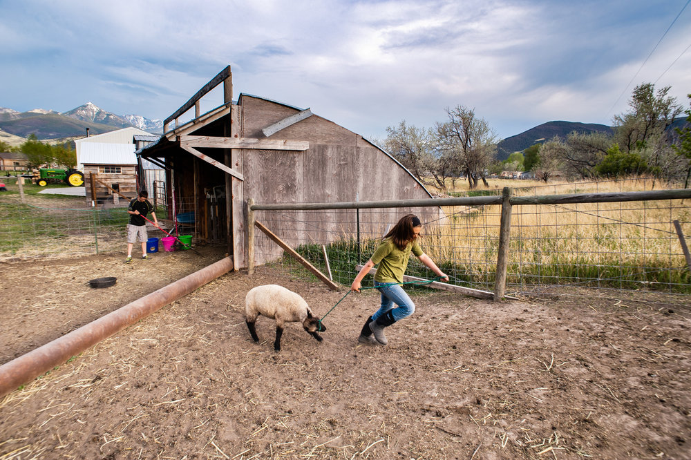The 4-H program offers children the opportunity to develop life and business skills. The Daltons have even earned enough money through their lamb sales to continue the business, put money aside in a college fund and pay for ski passes at nearby Bridger Bowl.