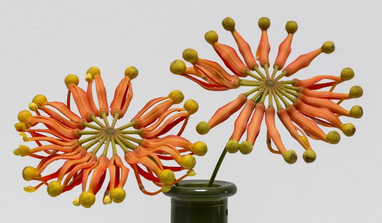 Stenocarpus and vase / photo