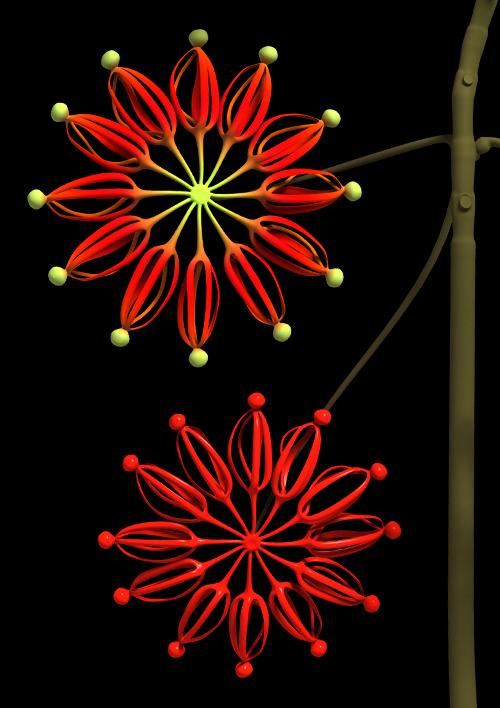 Stenocarpus (Firewheel Tree) - work in progress / colour trial