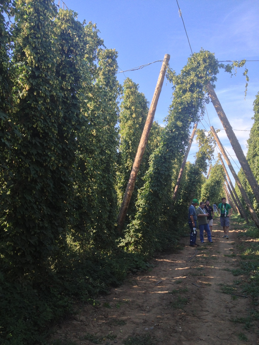 Walking through Jason Perrault's experimental hop yard. This is a section that will likely be a new commercial variety in the next 2-3 years.