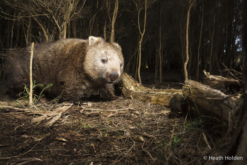 A big ole wombat passes by a trap.