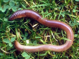 watch_earthworm