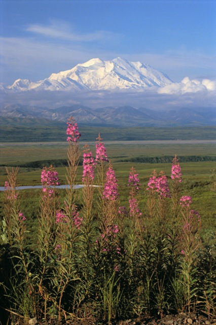 Mtn and fireweed RF01_092.JPG