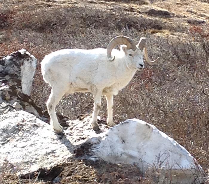 Dall Sheep in Denali National Park.