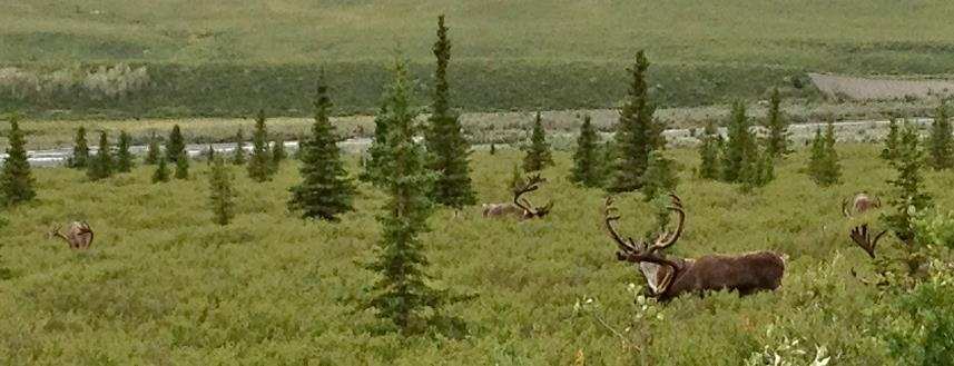 Caribou in Denali National Park.