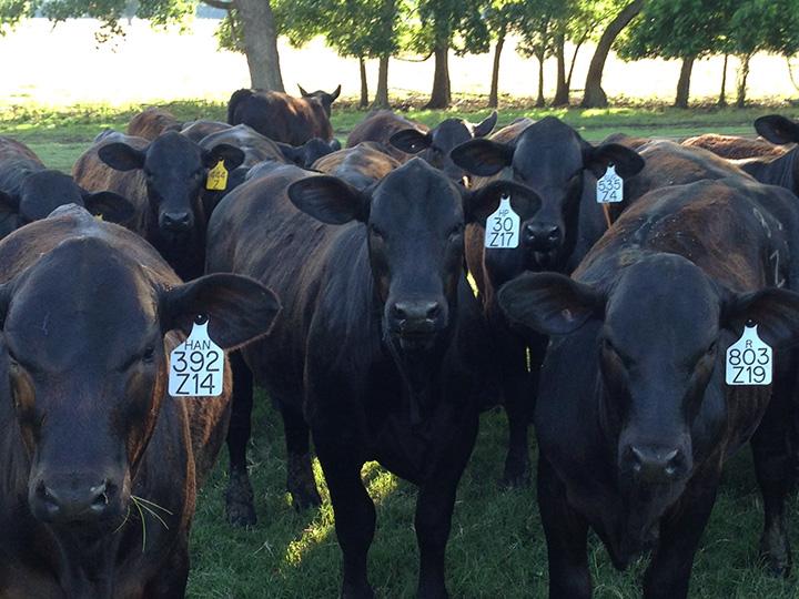 Spring heifers.jpg