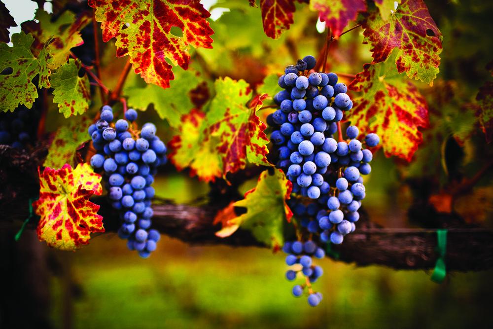 stock-photo-10964815-ripe-grapes.jpg
