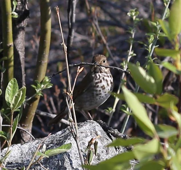 Hermit Thrush. Photo by Leanne Phelps