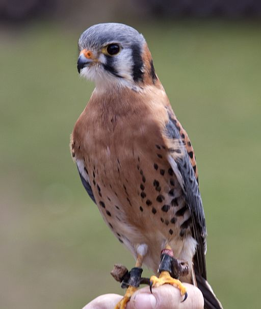 American Kestrel By Tony Hisgett (originally posted to Flickr as American Kestrel 3) [CC BY 2.0 (http://creativecommons.org/licenses/by/2.0)], via Wikimedia Commons