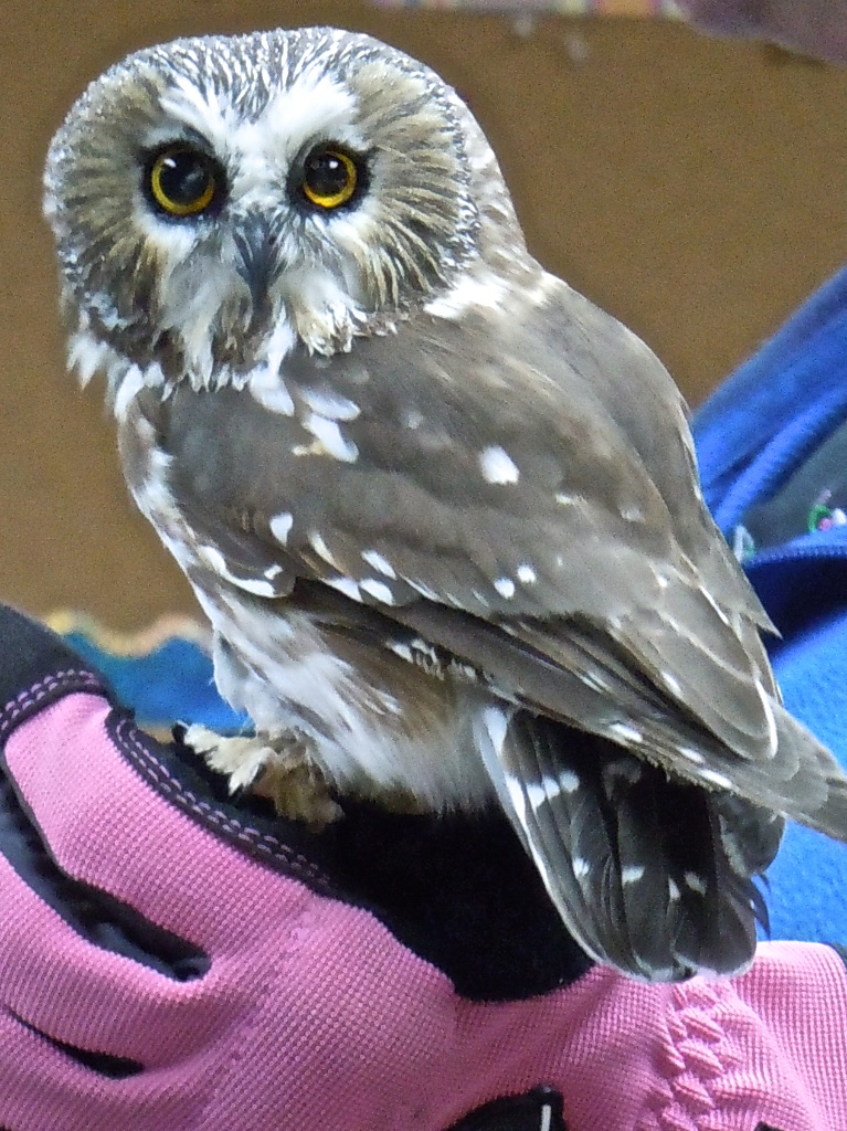 Northern Saw-whet Owl. Photo courtesy o AWBRC