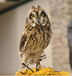 Short-eared Owl. Photo courtesy of AWBRC.
