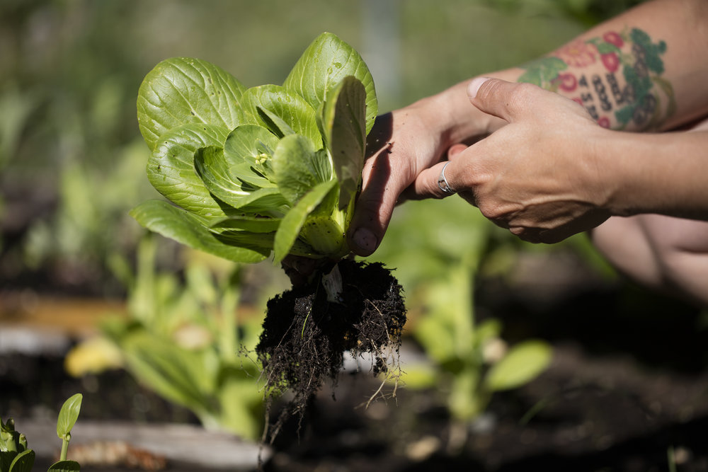 Lettuce grown by students and staff at the Wrangell Mountain Center