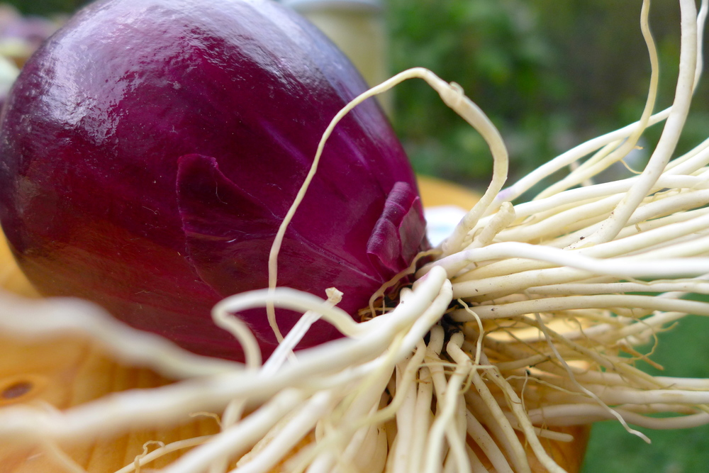 Mit diesen Zwiebeln koch ich am liebsten Spaghetti Bolognese. Sie sind so groß, dass eine völlig ausreicht.