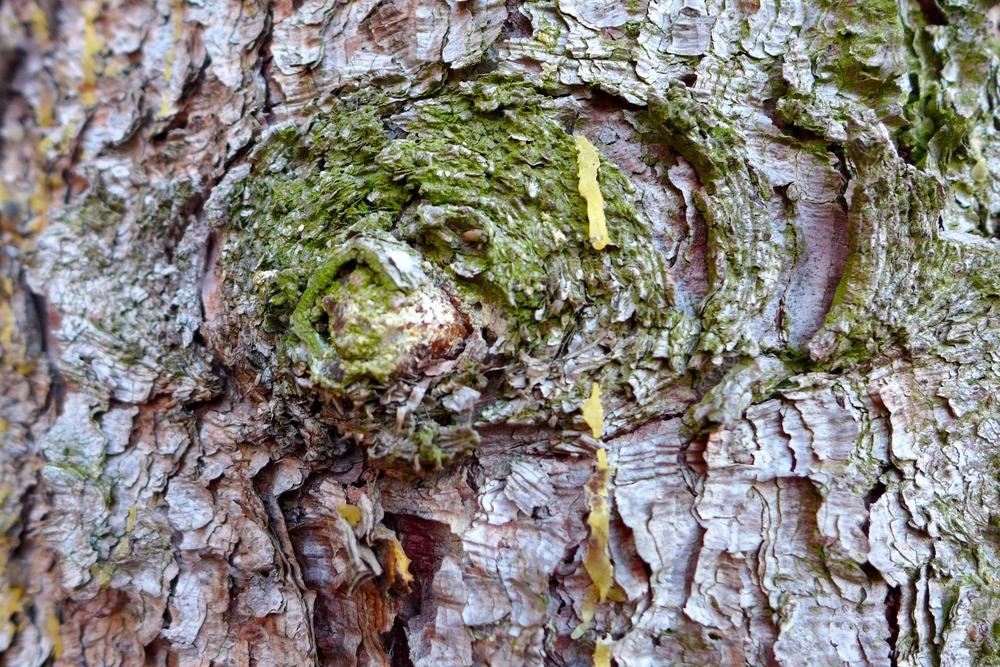 Das junge Harz ist meistens weiß und weich und enthält noch angenehm duftende ätherische Öle.