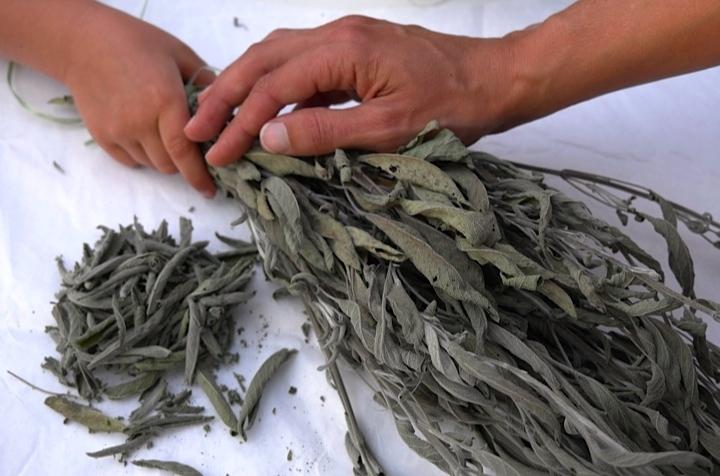 Vorsichtig werden die getrockneten Blätter von den Stängeln gezupft.