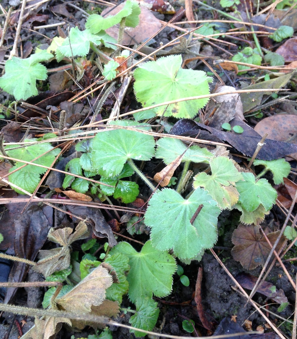 Frauenmantel (Alchemilla vulgaris)