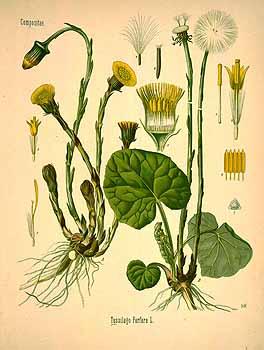 Bild:http://plantgenera.org/